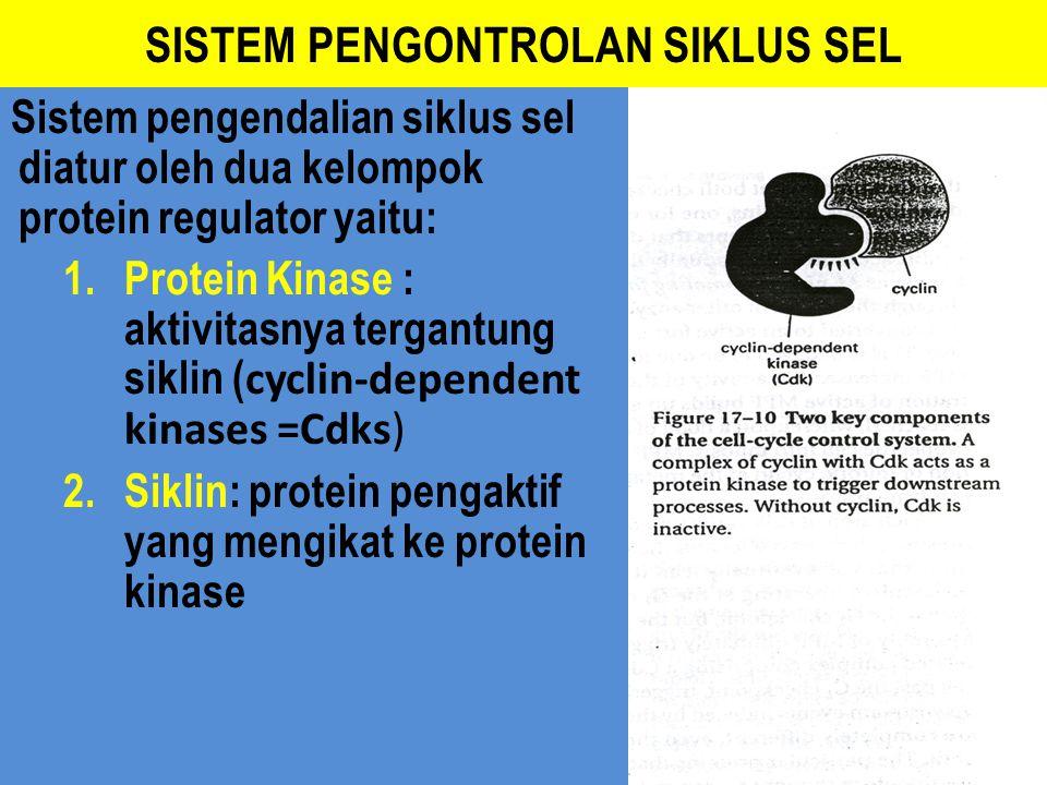 SISTEM PENGONTROLAN SIKLUS SEL Sistem pengendalian siklus sel diatur oleh dua kelompok protein regulator yaitu: 1. Protein Kinase : aktivitasnya terga