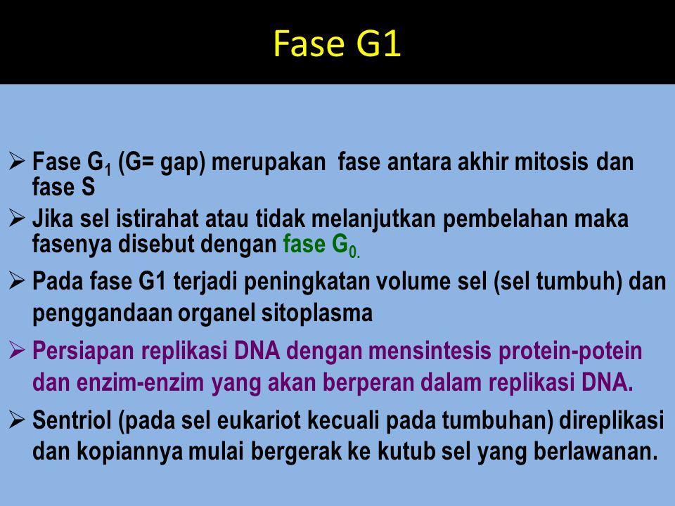 Fase G1  Fase G 1 (G= gap) merupakan fase antara akhir mitosis dan fase S  Jika sel istirahat atau tidak melanjutkan pembelahan maka fasenya disebut