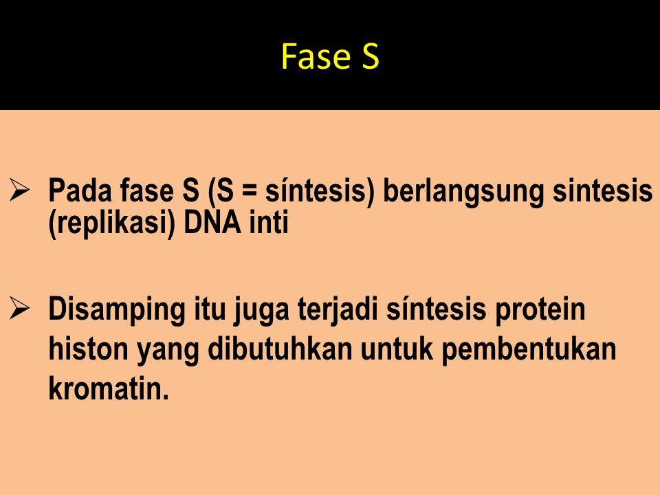 Fase S  Pada fase S (S = síntesis) berlangsung sintesis (replikasi) DNA inti  Disamping itu juga terjadi síntesis protein histon yang dibutuhkan unt