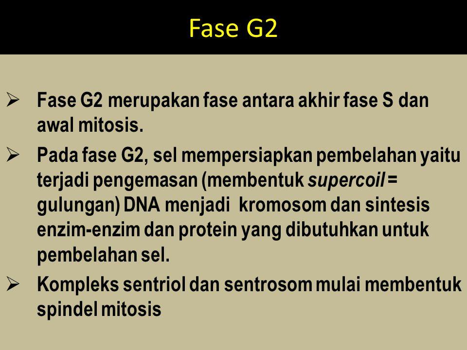 Fase G2  Fase G2 merupakan fase antara akhir fase S dan awal mitosis.  Pada fase G2, sel mempersiapkan pembelahan yaitu terjadi pengemasan (membentu