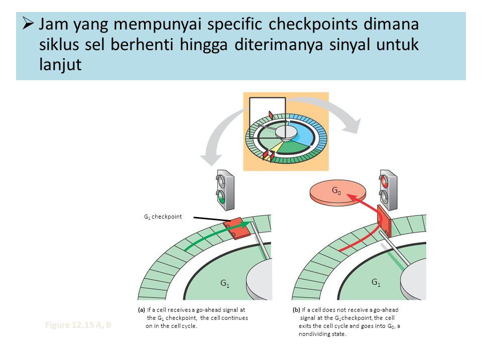  Jam yang mempunyai specific checkpoints dimana siklus sel berhenti hingga diterimanya sinyal untuk lanjut G 1 checkpoint G1G1 G1G1 G0G0 (a) If a cel