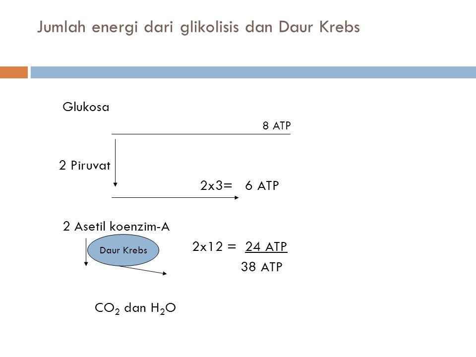 Jumlah energi dari glikolisis dan Daur Krebs Glukosa 8 ATP 2 Piruvat 2x3= 6 ATP 2 Asetil koenzim-A 2x12 = 24 ATP 38 ATP CO 2 dan H 2 O Daur Krebs