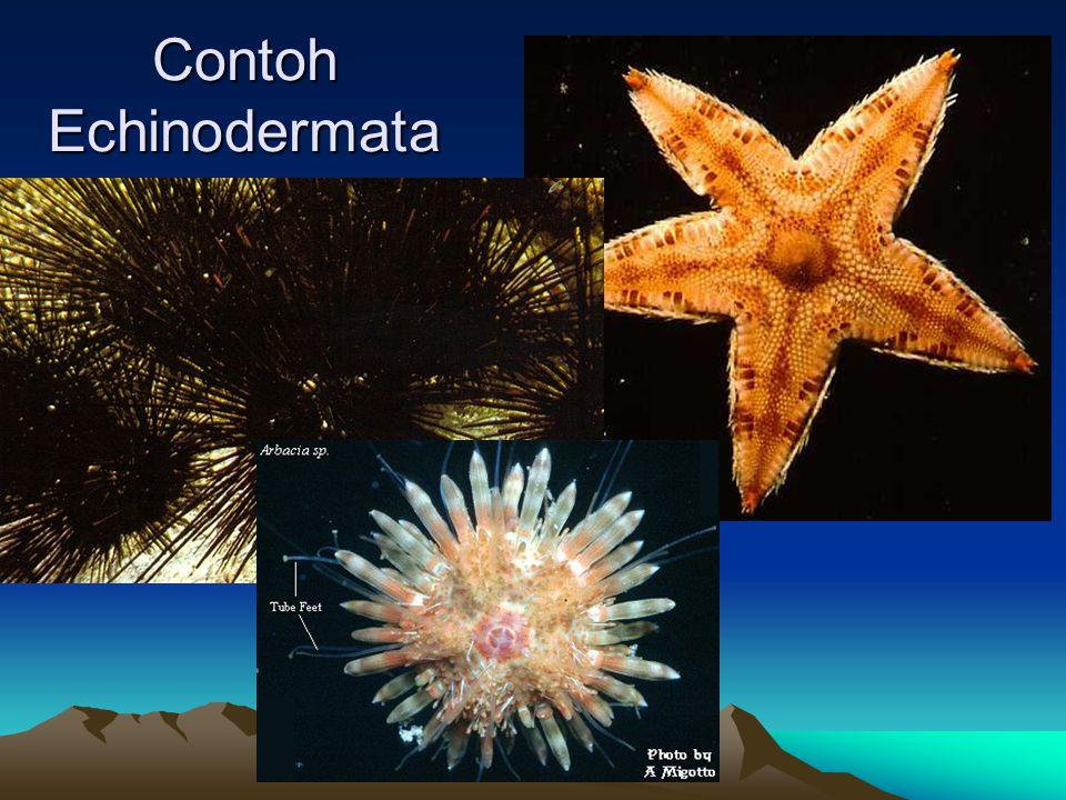 Contoh Echinodermata