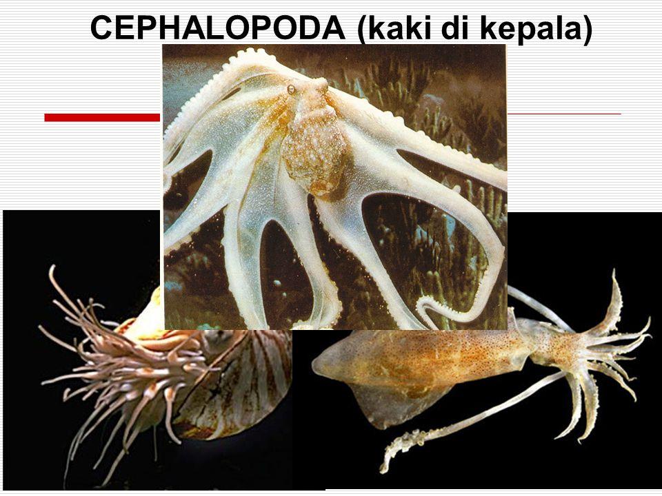 CEPHALOPODA (kaki di kepala)