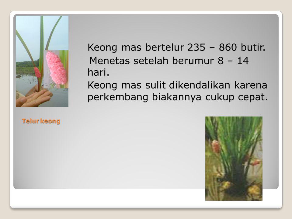 Telur keong Keong mas bertelur 235 – 860 butir. Menetas setelah berumur 8 – 14 hari.