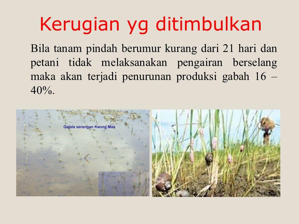 Bila tanam pindah berumur kurang dari 21 hari dan petani tidak melaksanakan pengairan berselang maka akan terjadi penurunan produksi gabah 16 – 40%.