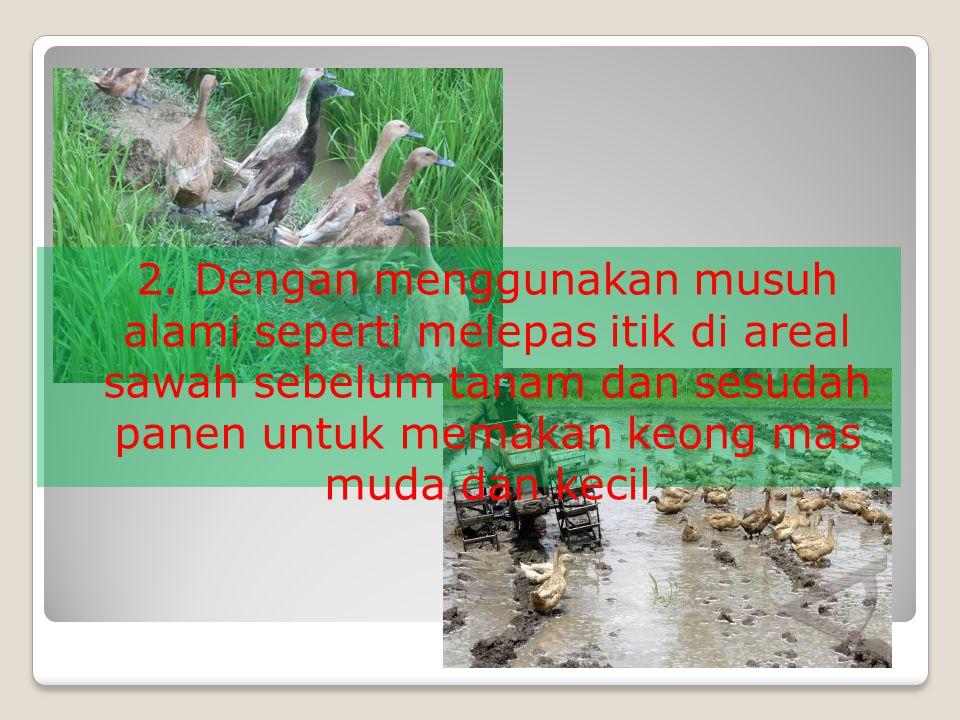 2. Dengan menggunakan musuh alami seperti melepas itik di areal sawah sebelum tanam dan sesudah panen untuk memakan keong mas muda dan kecil