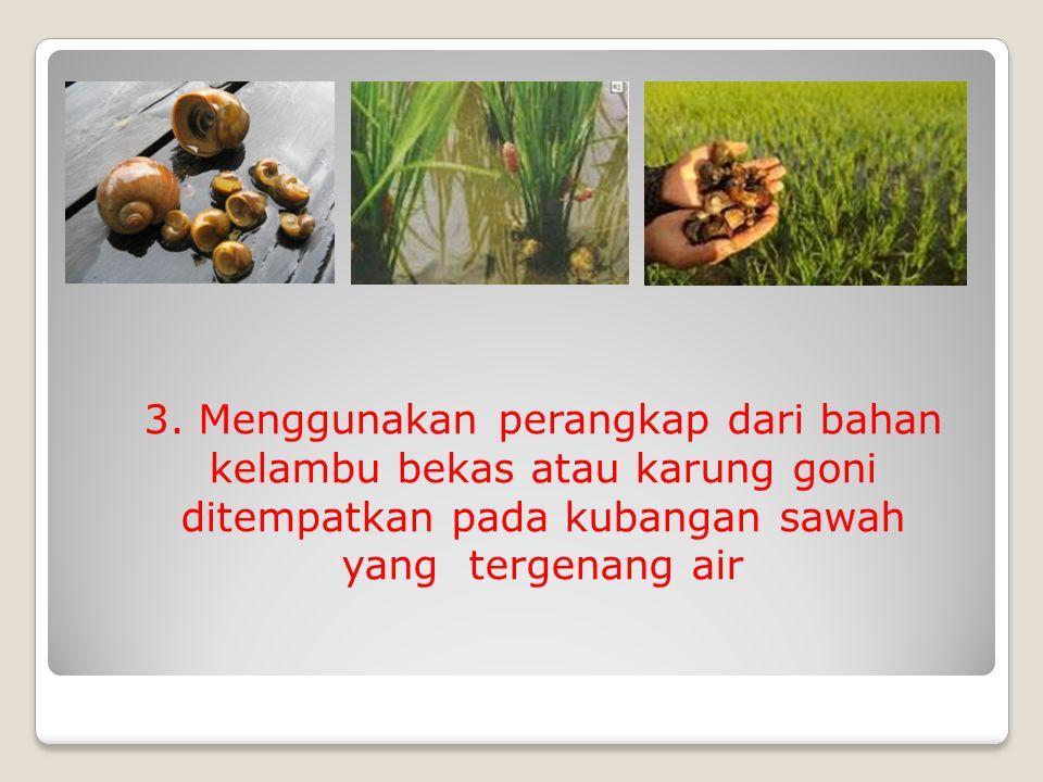 3. Menggunakan perangkap dari bahan kelambu bekas atau karung goni ditempatkan pada kubangan sawah yang tergenang air