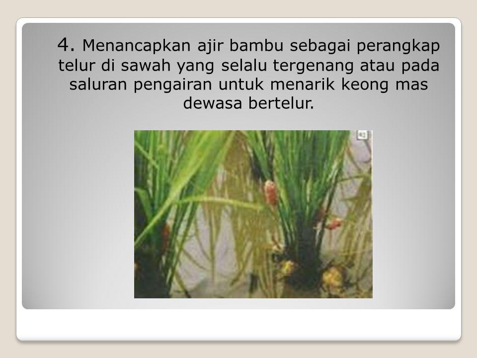 4. Menancapkan ajir bambu sebagai perangkap telur di sawah yang selalu tergenang atau pada saluran pengairan untuk menarik keong mas dewasa bertelur.