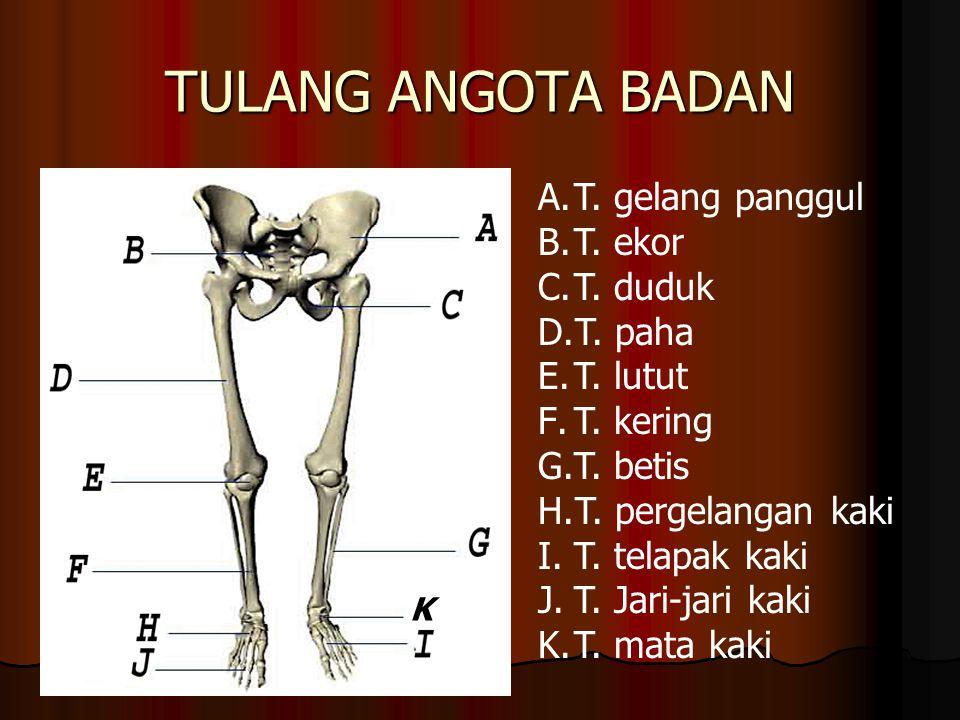 TULANG ANGOTA BADAN A.T. gelang panggul B.T. ekor C.T. duduk D.T. paha E.T. lutut F.T. kering G.T. betis H.T. pergelangan kaki I.T. telapak kaki J.T.