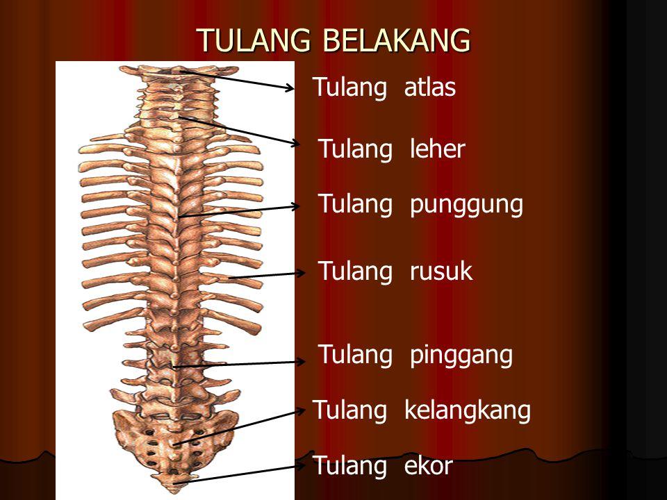 TULANG BELAKANG Tulang atlas Tulang leher Tulang punggung Tulang pinggang Tulang kelangkang Tulang ekor Tulang rusuk