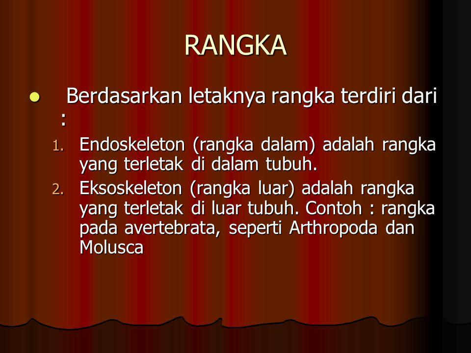 RANGKA Berdasarkan letaknya rangka terdiri dari : Berdasarkan letaknya rangka terdiri dari : 1. Endoskeleton (rangka dalam) adalah rangka yang terleta