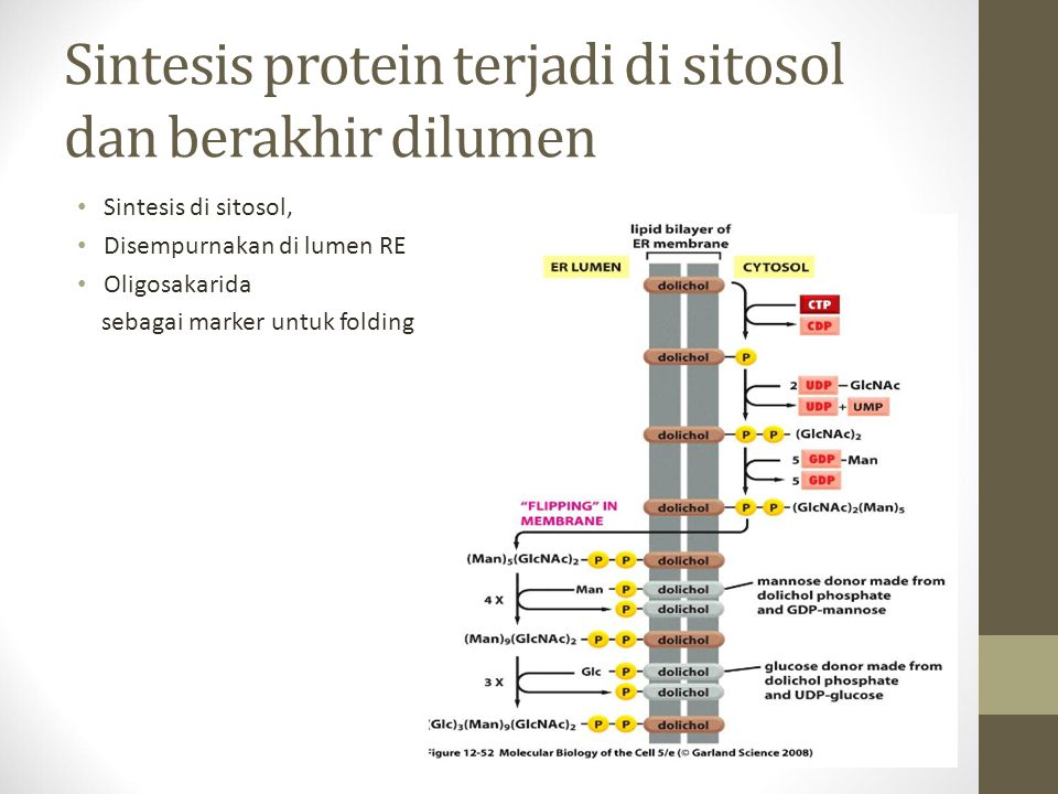 Sintesis protein terjadi di sitosol dan berakhir dilumen Sintesis di sitosol, Disempurnakan di lumen RE Oligosakarida sebagai marker untuk folding