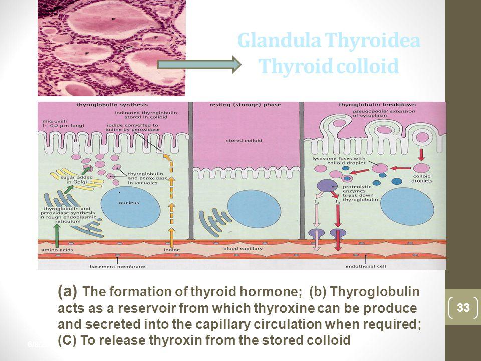 6/8/2015 33 nur anisah Glandula Thyroidea Thyroid colloid (a) The formation of thyroid hormone; (b) Thyroglobulin acts as a reservoir from which thyro