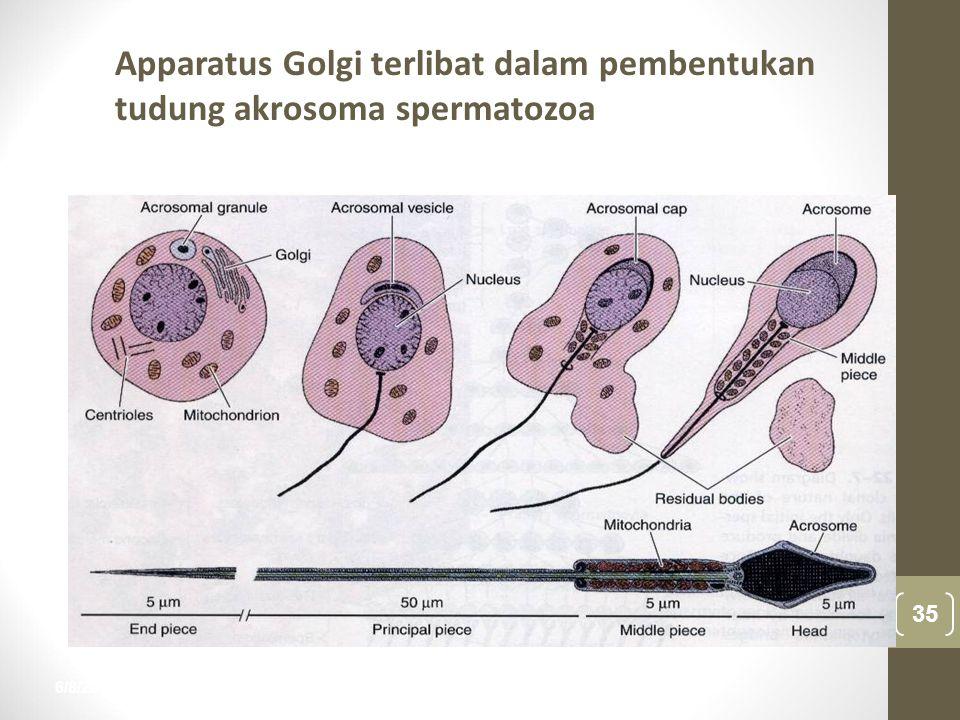 6/8/2015 35 nur anisah Apparatus Golgi terlibat dalam pembentukan tudung akrosoma spermatozoa