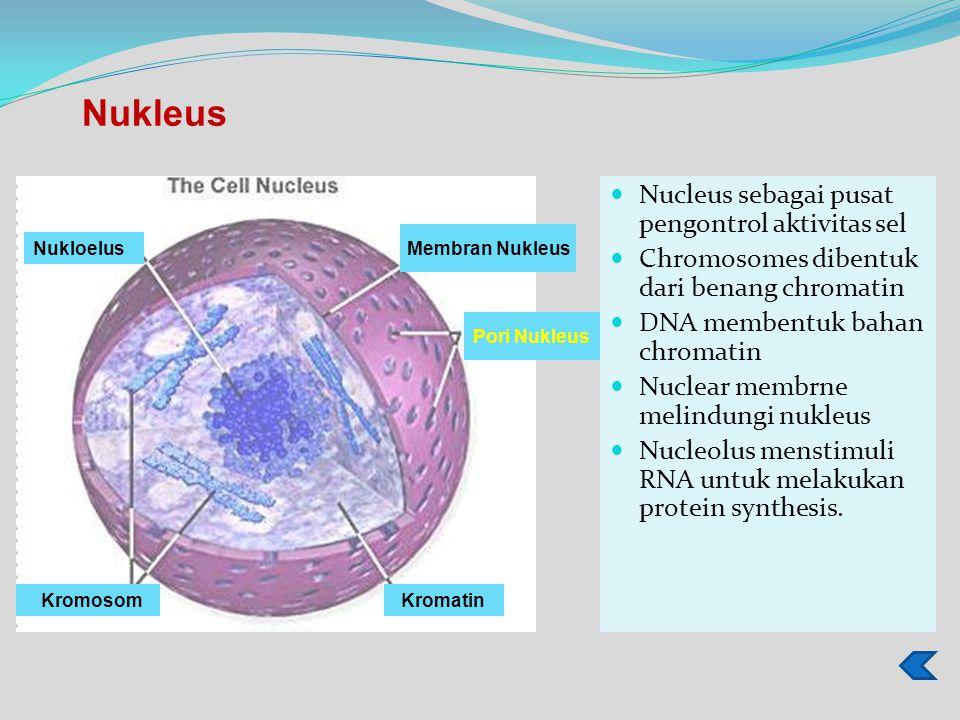 Nucleus sebagai pusat pengontrol aktivitas sel Chromosomes dibentuk dari benang chromatin DNA membentuk bahan chromatin Nuclear membrne melindungi nukleus Nucleolus menstimuli RNA untuk melakukan protein synthesis.