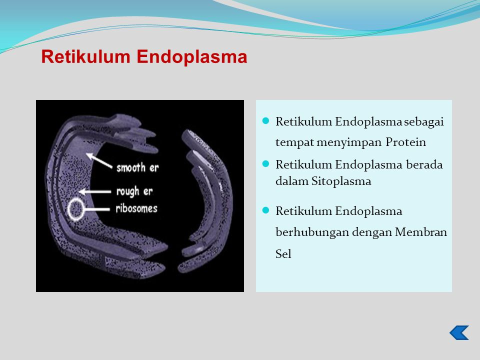 Retikulum Endoplasma sebagai tempat menyimpan Protein Retikulum Endoplasma berada dalam Sitoplasma Retikulum Endoplasma berhubungan dengan Membran Sel Retikulum Endoplasma
