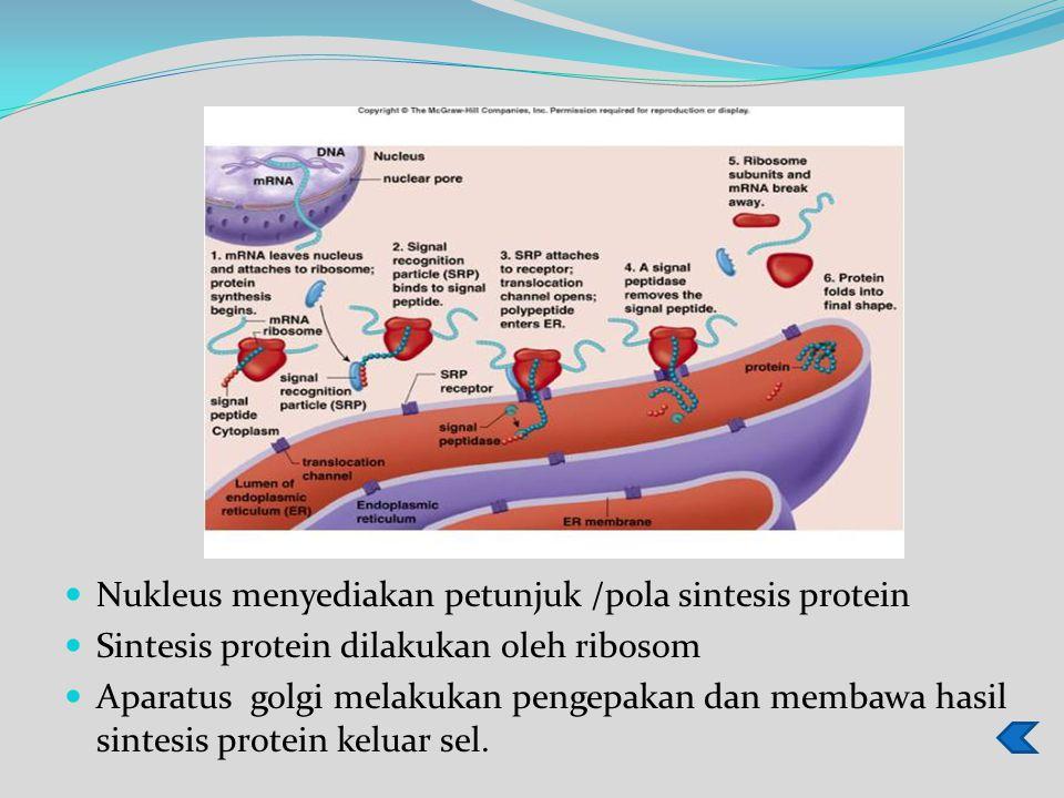 Nukleus menyediakan petunjuk /pola sintesis protein Sintesis protein dilakukan oleh ribosom Aparatus golgi melakukan pengepakan dan membawa hasil sintesis protein keluar sel.