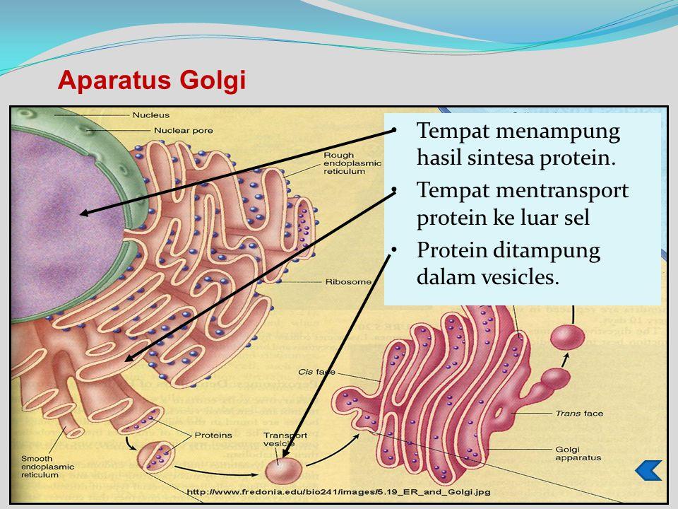 Tempat menampung hasil sintesa protein.