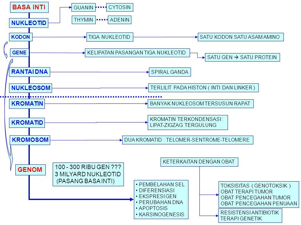 BASA INTI KODON GENE RANTAI DNA NUKLEOSOM KROMATIN KROMATID KROMOSOM GENOM GUANIN NUKLEOTID ADENIN CYTOSIN THYMIN TIGA NUKLEOTID KELIPATAN PASANGAN TIGA NUKLEOTID TERLILIT PADA HISTON ( INTI DAN LINKER ) SPIRAL GANDA DUA KROMATID : TELOMER-SENTROME-TELOMERE BANYAK NUKLEOSOM TERSUSUN RAPAT KROMATIN TERKONDENSASI : LIPAT-ZIGZAG TERGULUNG PEMBELAHAN SEL DIFERENSIASI EKSPRESI GEN PERUBAHAN DNA APOPTOSIS KARSINOGENESIS KETERKAITAN DENGAN OBAT TOKSISITAS ( GENOTOKSIK ) OBAT TERAPI TUMOR OBAT PENCEGAHAN TUMOR OBAT PENCEGAHAN PENUAAN SATU GEN  SATU PROTEIN SATU KODON SATU ASAM AMINO 100 - 300 RIBU GEN ??.