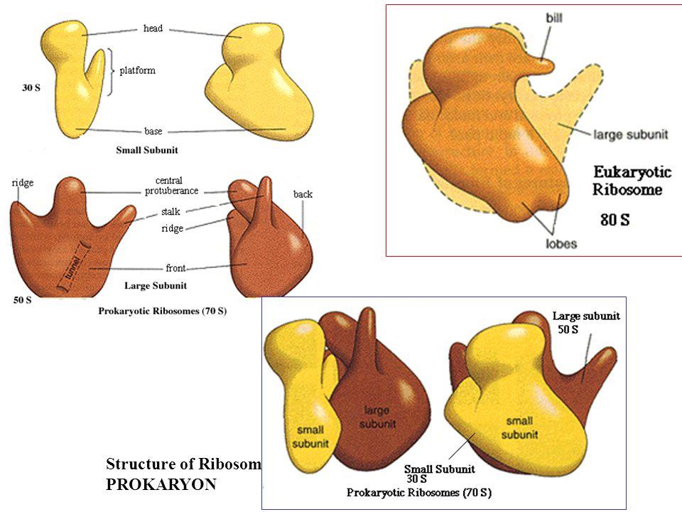 Polyribosomes