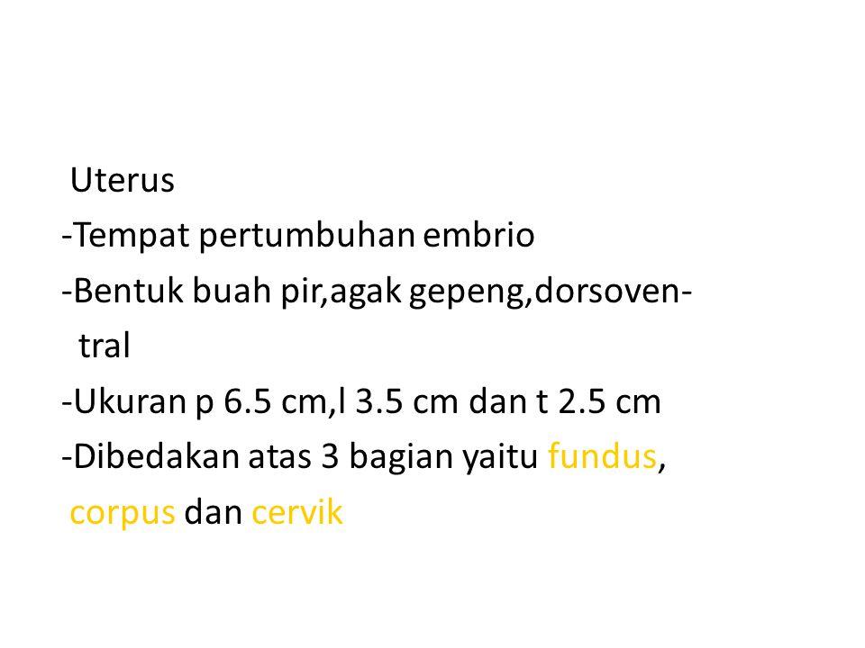 Uterus -Tempat pertumbuhan embrio -Bentuk buah pir,agak gepeng,dorsoven- tral -Ukuran p 6.5 cm,l 3.5 cm dan t 2.5 cm -Dibedakan atas 3 bagian yaitu fundus, corpus dan cervik