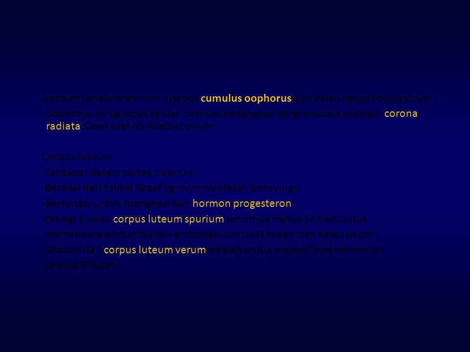 jorokan kedalam antrum disebut cumulus oophorus dan kalau terjadi ovulasi cum oophorus ini yg lepas keluar ovarium sedangkan sel granulosa menjadi corona radiata.Oosit saat ini disebut ovum Corpus luteum -Terdapat dalam cortek ovarium -Berasal dari folikel Graaf yg ovumnya telah berovulasi -Berfungsi untuk menghasilkan hormon progesteron -Dibagi 2 yaitu corpus luteum spurium umurnya hanya 14 hari,untuk memelihara pertumbuhan endometrium buat nidasi dan kalau ovum dibuahi dan corpus luteum verum adalah untuk memelihara kehamilan selama 9 bulan