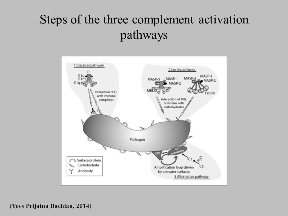 Pathophysiology 1: Microvascular cytoadherence/sequestration Pathophysiology 1: Microvascular cytoadherence/sequestration and microvascular obstruction (Yoes Prijatna Dachlan, 2014)