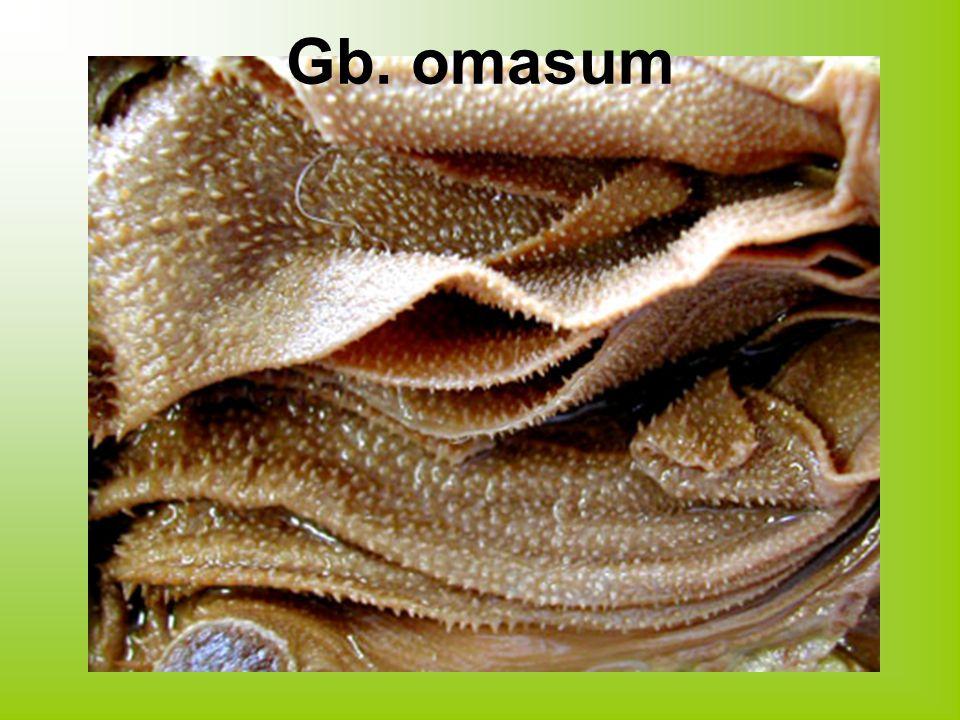 Gb. omasum