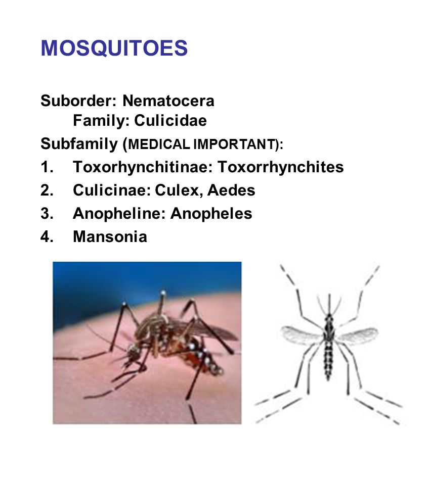 MOSQUITOES Suborder: Nematocera Family: Culicidae Subfamily ( MEDICAL IMPORTANT): 1.Toxorhynchitinae: Toxorrhynchites 2.Culicinae: Culex, Aedes 3.Anop