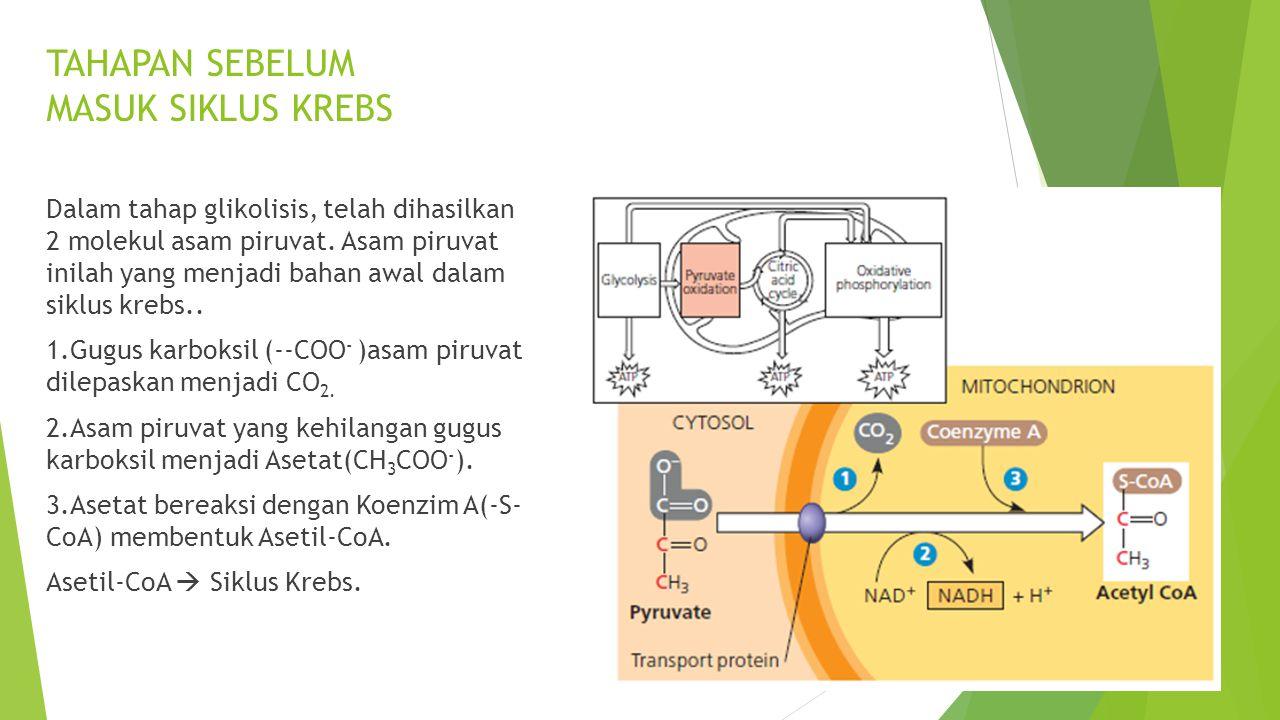 TAHAPAN SEBELUM MASUK SIKLUS KREBS Dalam tahap glikolisis, telah dihasilkan 2 molekul asam piruvat. Asam piruvat inilah yang menjadi bahan awal dalam