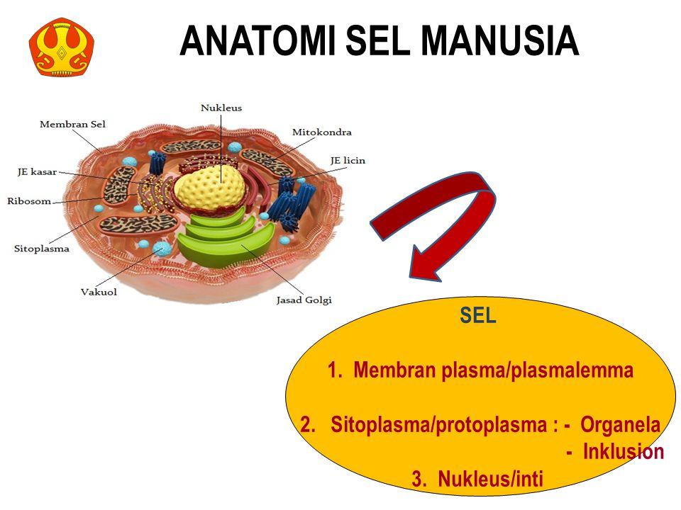 SEL 1. Membran plasma/plasmalemma 2. Sitoplasma/protoplasma : - Organela - Inklusion 3. Nukleus/inti ANATOMI SEL MANUSIA 11