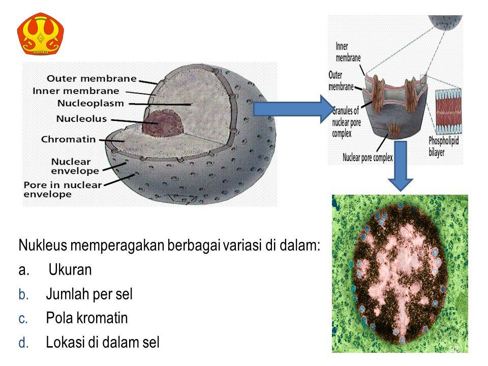 NUKLEUS Nukleus memperagakan berbagai variasi di dalam: a. Ukuran b. Jumlah per sel c. Pola kromatin d. Lokasi di dalam sel 33