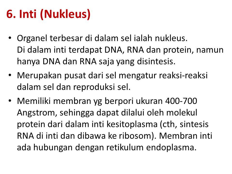 6. Inti (Nukleus) Organel terbesar di dalam sel ialah nukleus. Di dalam inti terdapat DNA, RNA dan protein, namun hanya DNA dan RNA saja yang disintes