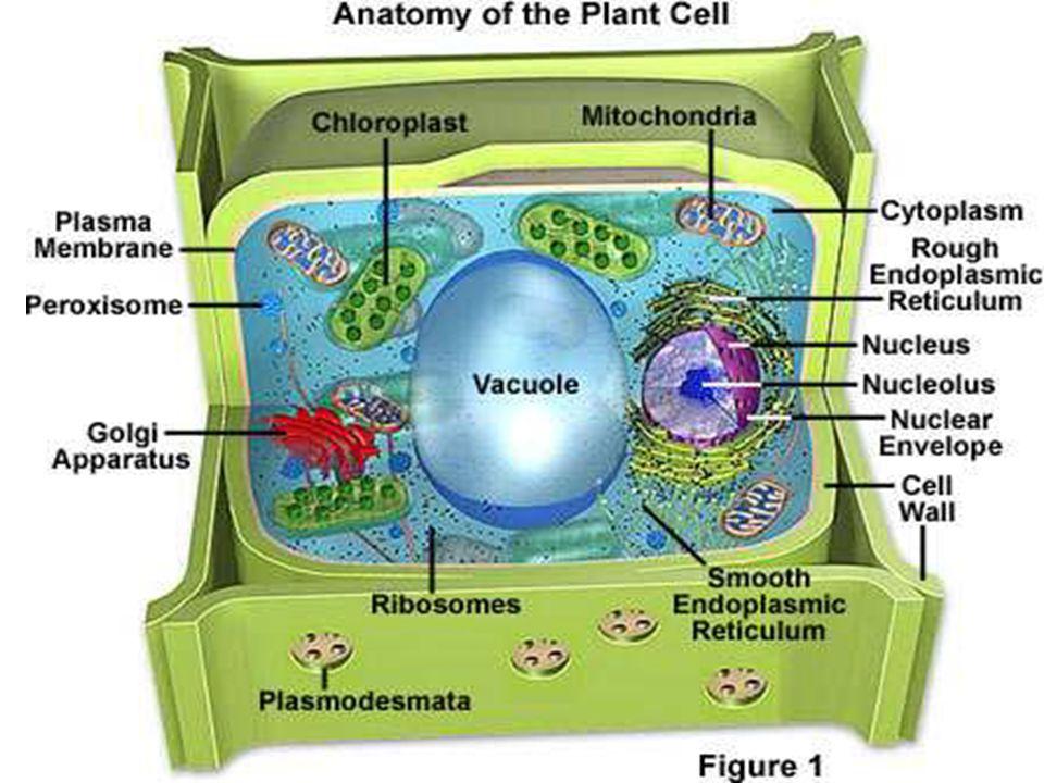 Mitokondria TEM of mitochondria