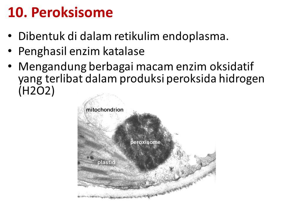 10. Peroksisome Dibentuk di dalam retikulim endoplasma. Penghasil enzim katalase Mengandung berbagai macam enzim oksidatif yang terlibat dalam produks