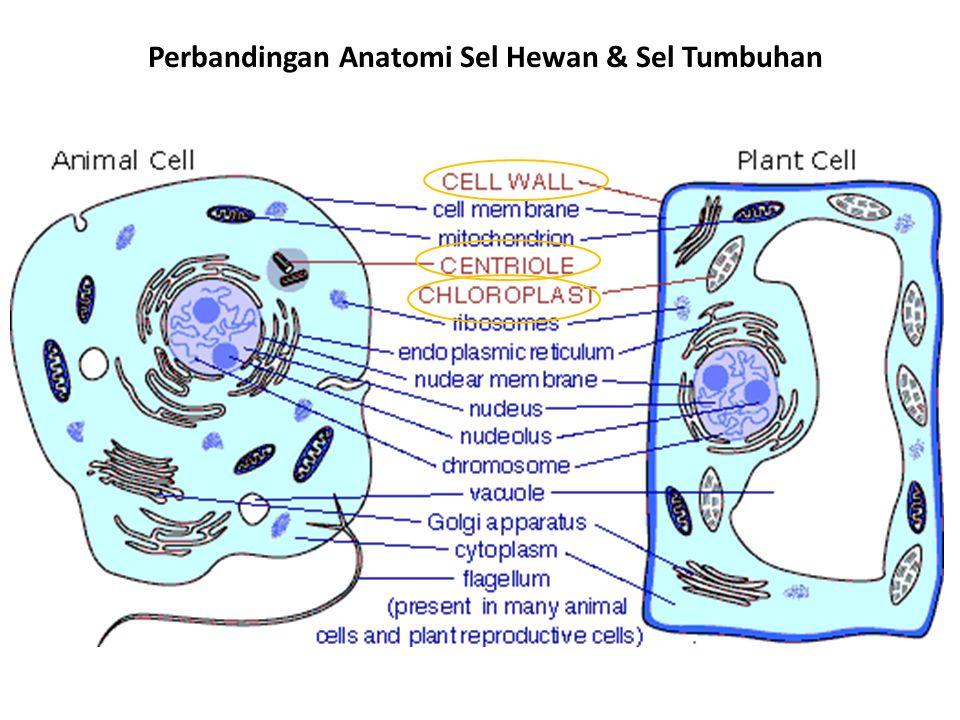 Perbandingan Anatomi Sel Hewan, Sel Tumbuhan & Sel Bakteri