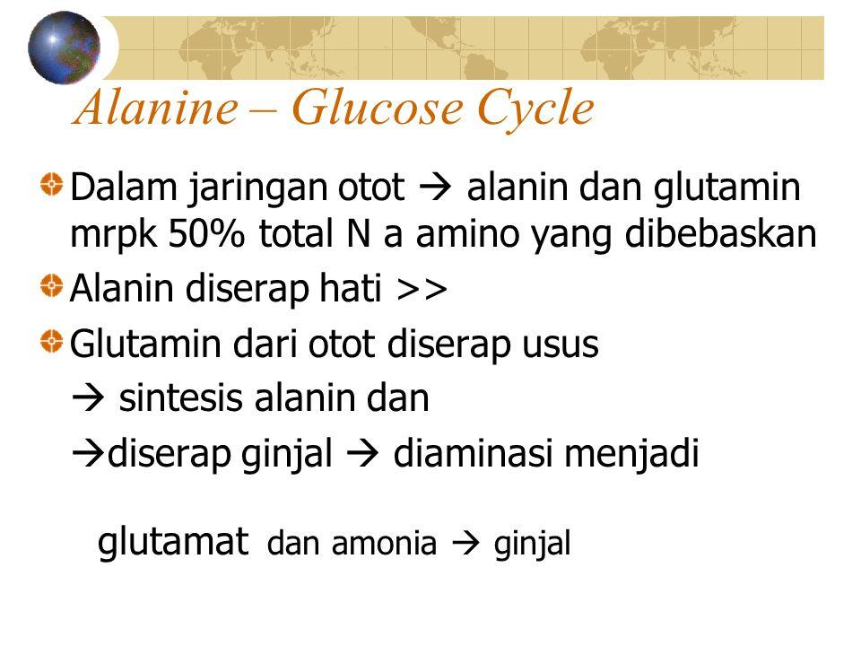 Alanine – Glucose Cycle Dalam jaringan otot  alanin dan glutamin mrpk 50% total N a amino yang dibebaskan Alanin diserap hati >> Glutamin dari otot d