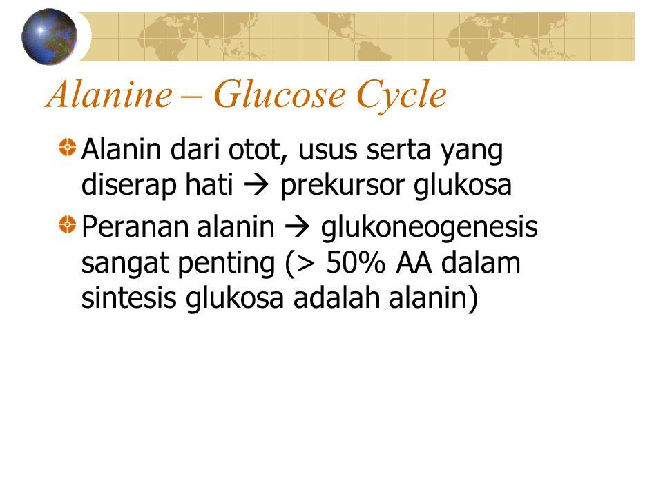 Alanine – Glucose Cycle Alanin dari otot, usus serta yang diserap hati  prekursor glukosa Peranan alanin  glukoneogenesis sangat penting (> 50% AA dalam sintesis glukosa adalah alanin)