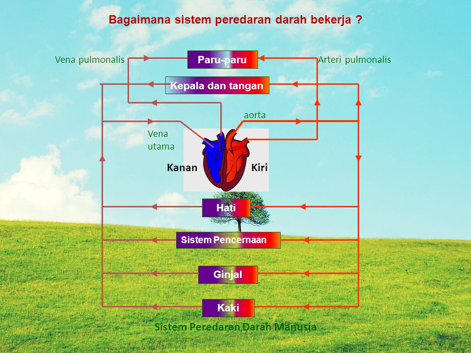 Hati Sistem Pencernaan Ginjal Kaki Arteri pulmonalis aorta Vena pulmonalis Vena utama KiriKanan Bagaimana sistem peredaran darah bekerja ? Sistem Pere