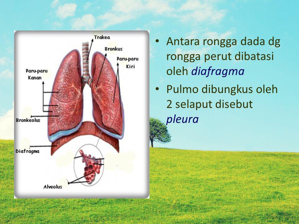 Antara rongga dada dg rongga perut dibatasi oleh diafragma Pulmo dibungkus oleh 2 selaput disebut pleura