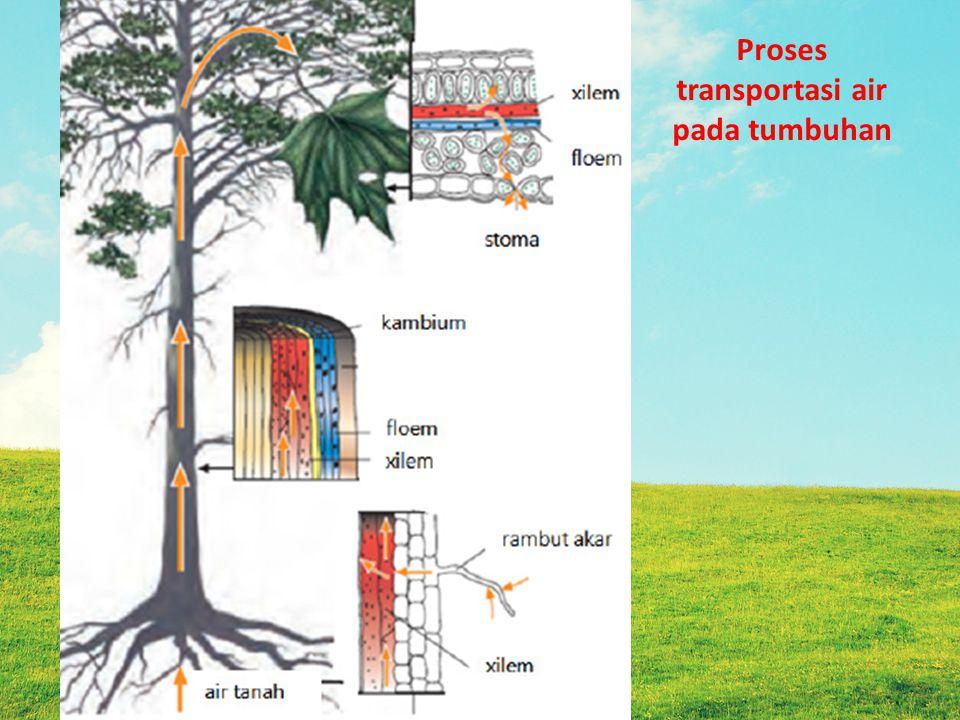 . Transportasi nutrisi : adalah pengangkutan hasil fotosintesis melalui floem ( dari daun ke seluruh bagian tumbuhan)
