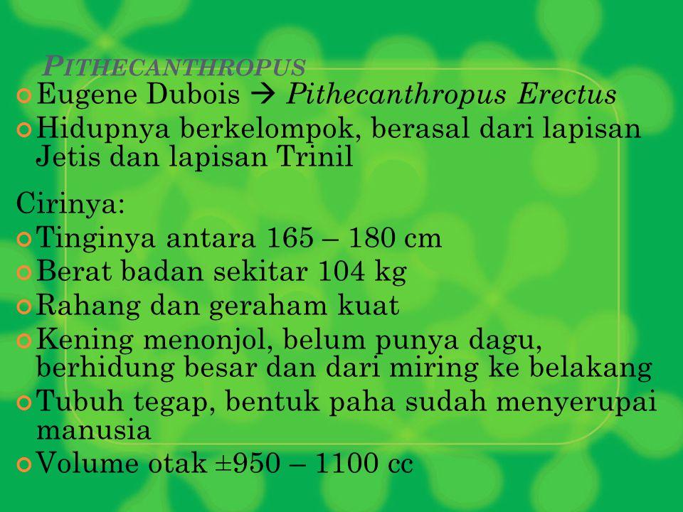 P ITHECANTHROPUS Eugene Dubois  Pithecanthropus Erectus Hidupnya berkelompok, berasal dari lapisan Jetis dan lapisan Trinil Cirinya: Tinginya antara