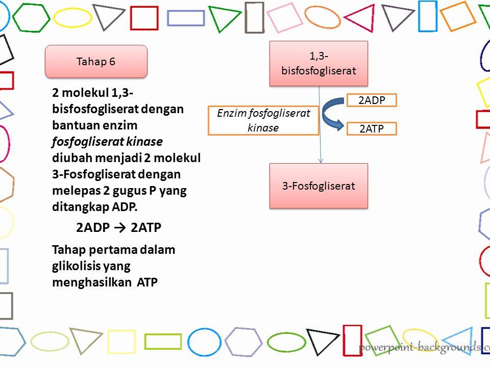 2 molekul 1,3- bisfosfogliserat dengan bantuan enzim fosfogliserat kinase diubah menjadi 2 molekul 3-Fosfogliserat dengan melepas 2 gugus P yang ditan