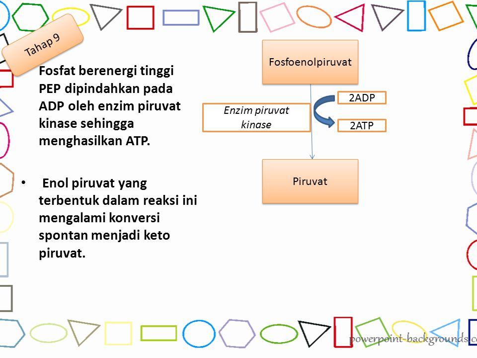 Fosfat berenergi tinggi PEP dipindahkan pada ADP oleh enzim piruvat kinase sehingga menghasilkan ATP. Enol piruvat yang terbentuk dalam reaksi ini men