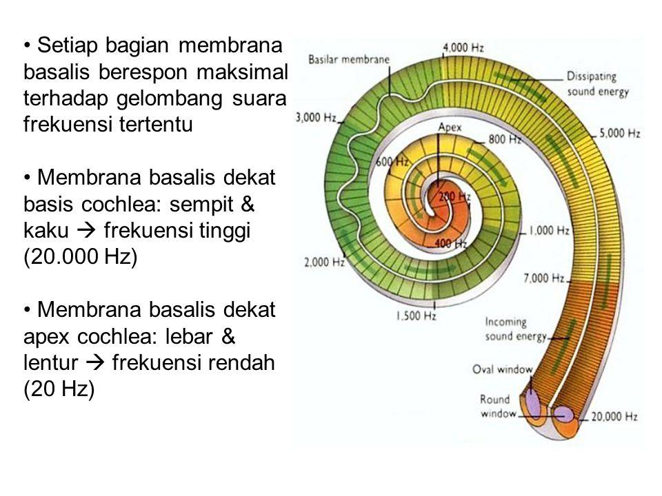 Setiap bagian membrana basalis berespon maksimal terhadap gelombang suara frekuensi tertentu Membrana basalis dekat basis cochlea: sempit & kaku  frekuensi tinggi (20.000 Hz) Membrana basalis dekat apex cochlea: lebar & lentur  frekuensi rendah (20 Hz)
