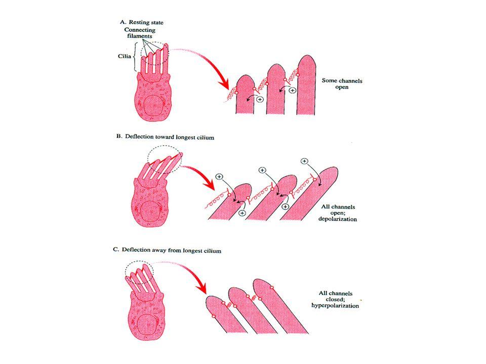 Protein tip link menghubungkan puncak tiap stereocilia dengan mechanically gated ion channels (kanal transduksi) pada stereocilia yang lebih tinggi di sebelahnya Stereocilia menekuk ke arah stereocilia yang lebih tinggi  tip links membuka kanal transduksi