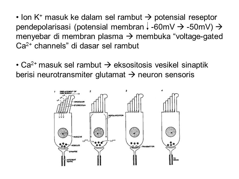Ion K + masuk ke dalam sel rambut  potensial reseptor pendepolarisasi (potensial membran -60mV  -50mV)  menyebar di membran plasma  membuka voltage-gated Ca 2+ channels di dasar sel rambut Ca 2+ masuk sel rambut  eksositosis vesikel sinaptik berisi neurotransmiter glutamat  neuron sensoris