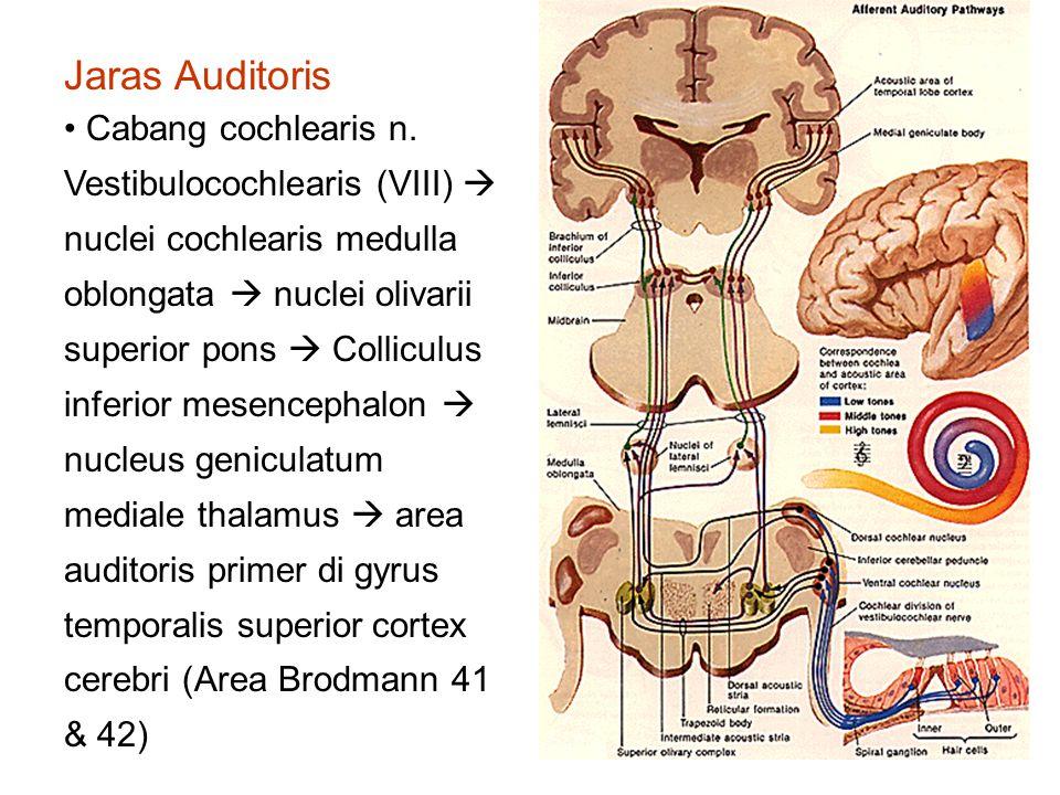 Jaras Auditoris Cabang cochlearis n.