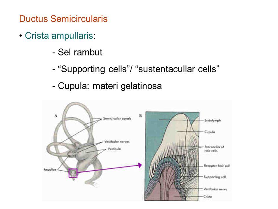 Ductus Semicircularis Crista ampullaris: - Sel rambut - Supporting cells / sustentacullar cells - Cupula: materi gelatinosa